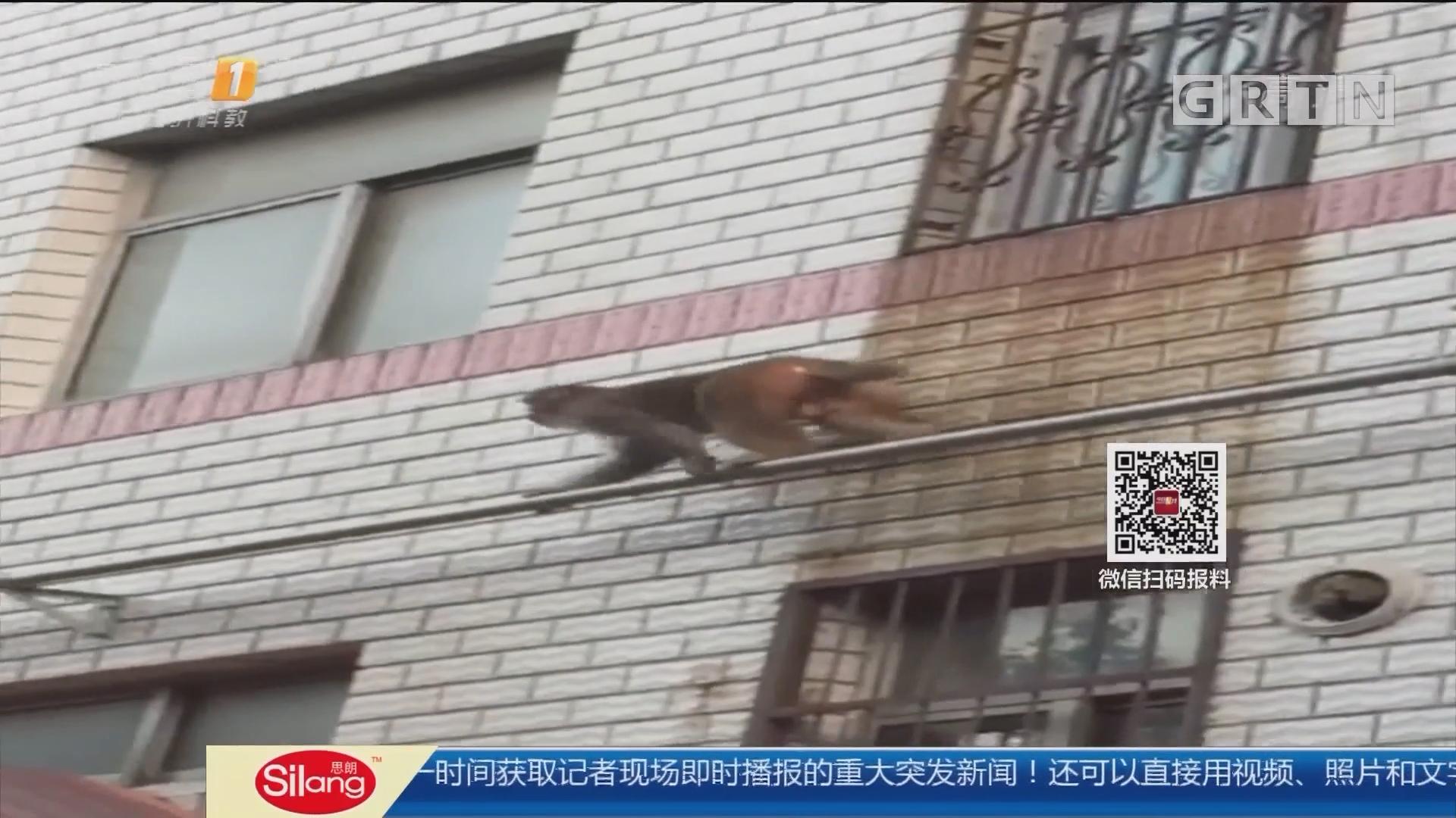 """江苏徐州:""""齐天大圣""""闯小区 警民合力围捕"""