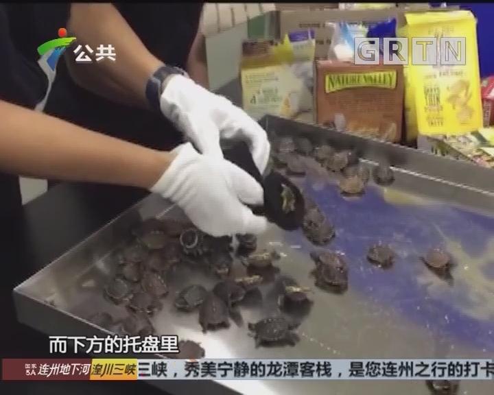 广州:零食盒藏75只活乌龟 被海关查获