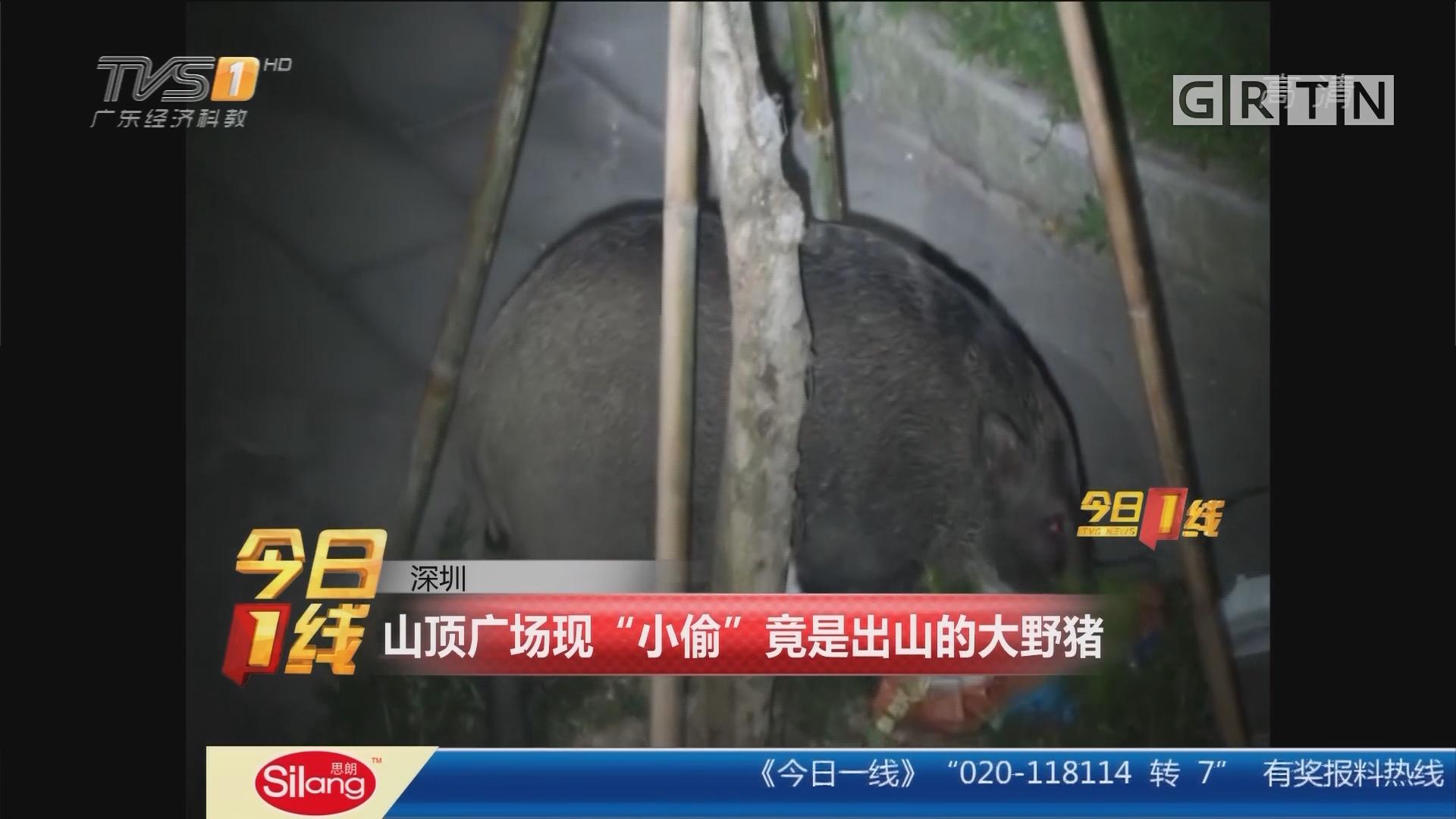 """深圳:山顶广场现""""小偷""""竟是出山的大野猪"""