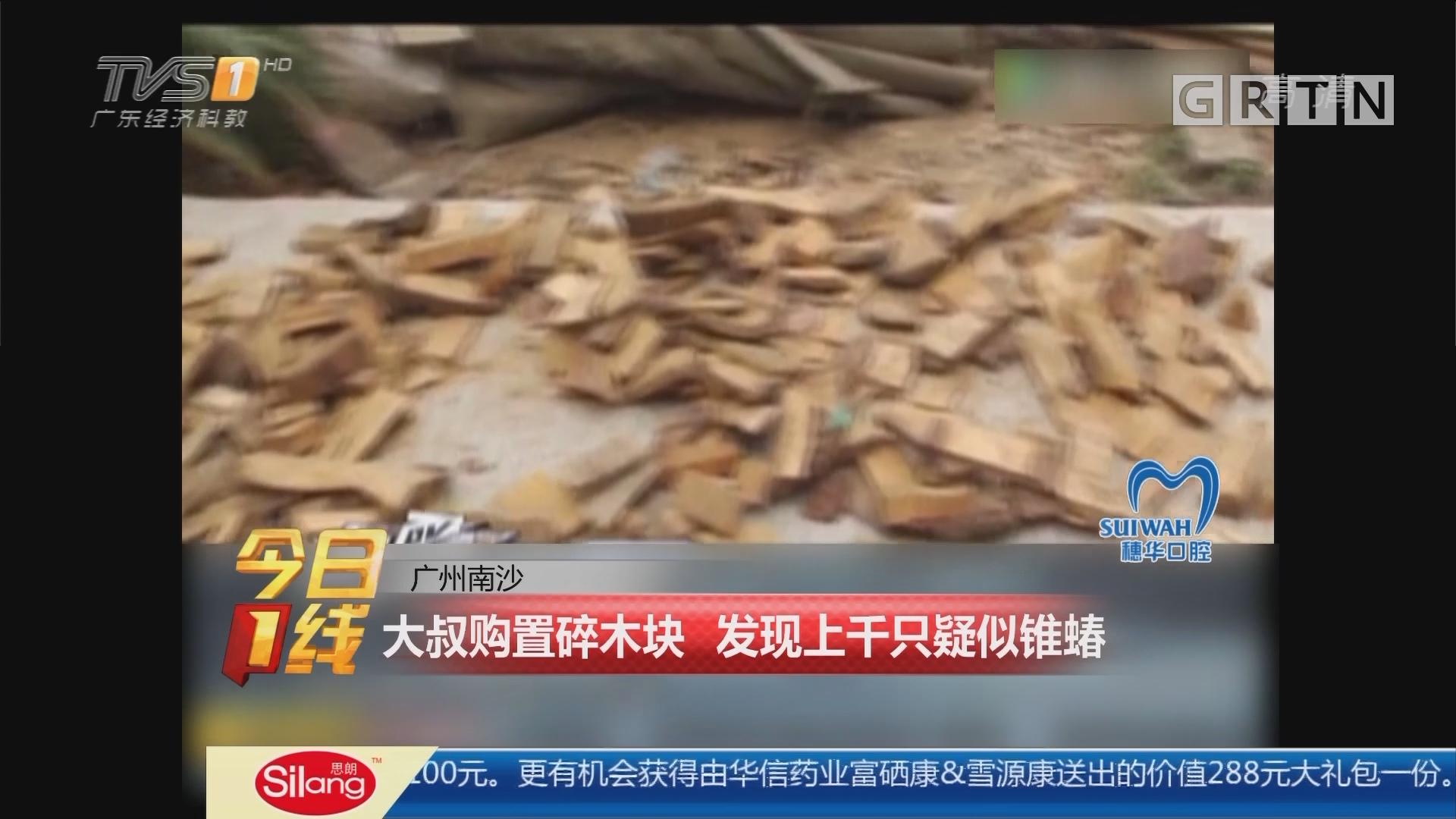 广州南沙:大叔购置碎木块 发现上千只疑似锥蝽