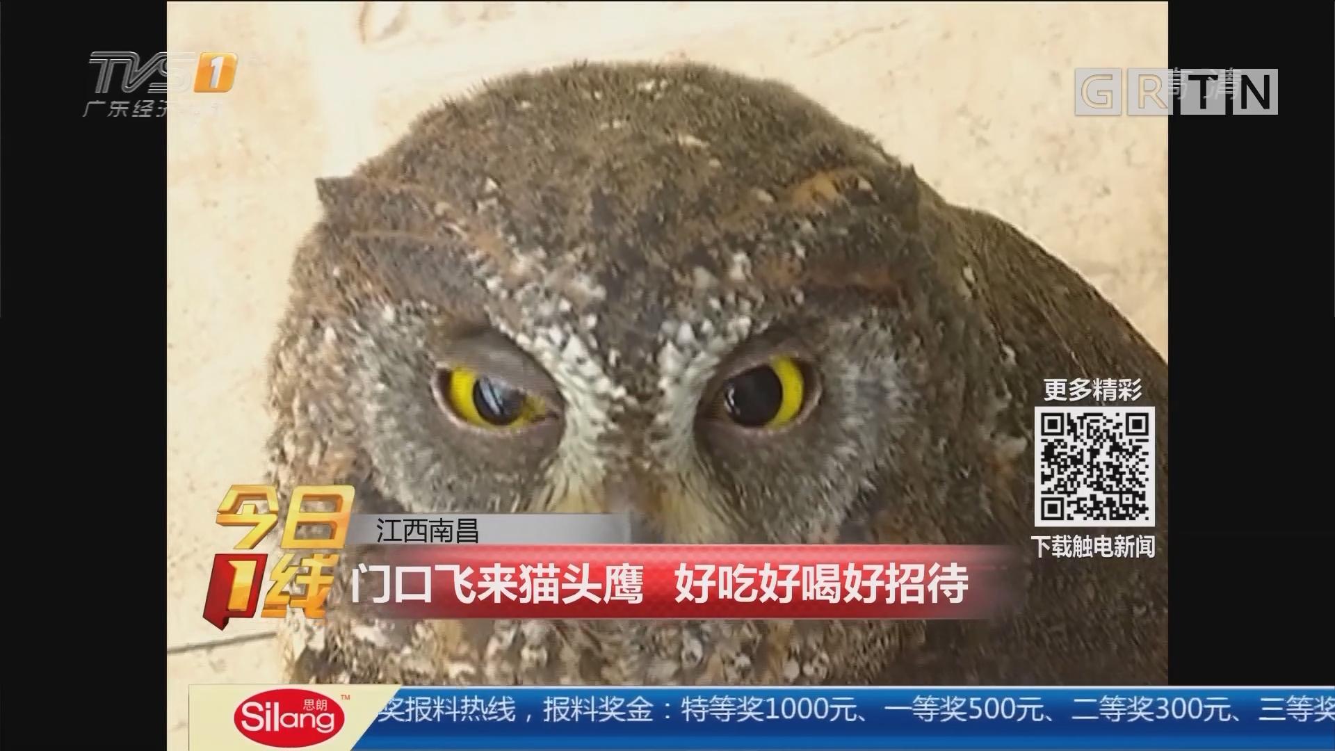 江西南昌:门口飞来猫头鹰 好吃好喝好招待
