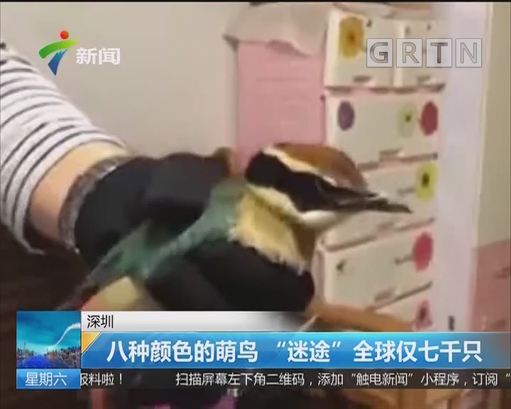 """深圳:八种颜色的萌鸟""""迷途""""全球仅七千只"""