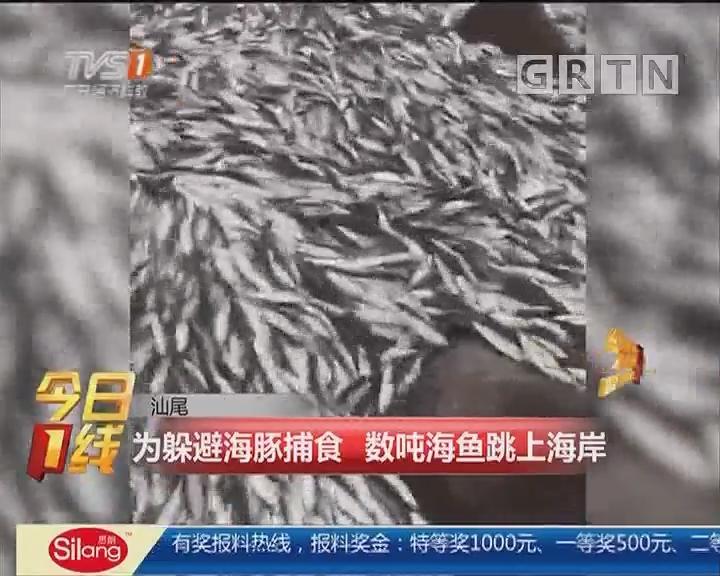 汕尾:为躲避海豚捕食 数吨海鱼跳上海岸