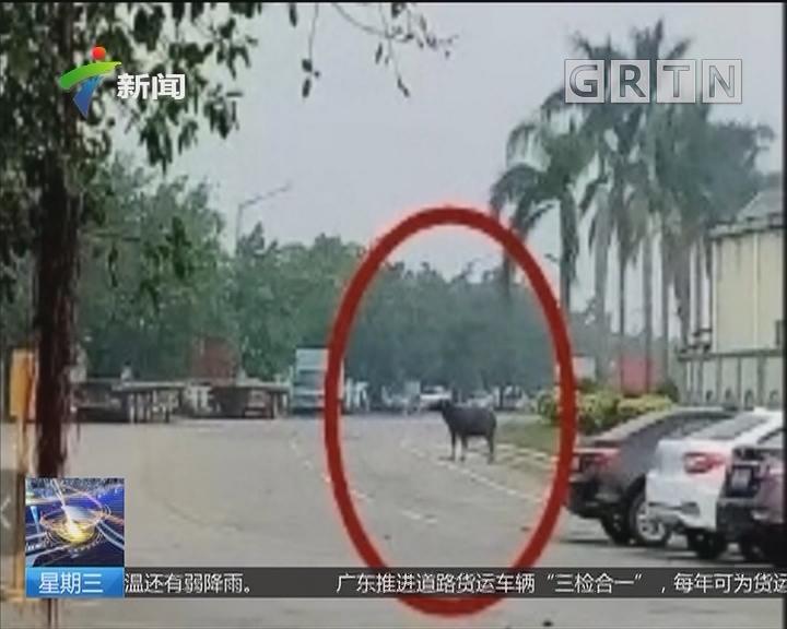 """江门开平:马路惊现""""疯牛"""" 特警果断将其击毙"""