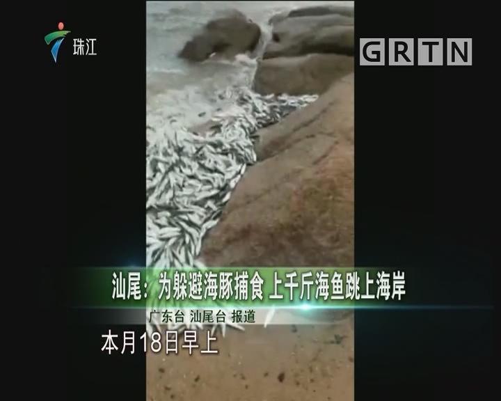 汕尾:为躲避海豚捕食 上千斤海鱼跳上海岸