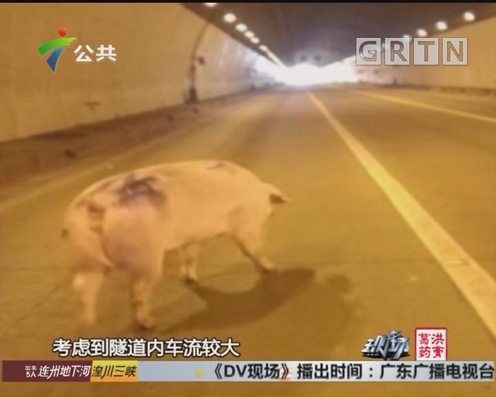 """""""二师兄""""闯入高速隧道 交警封路来抓猪"""