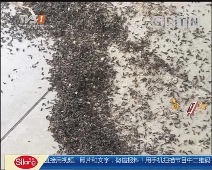 东莞:数量惊人黑虫突袭 吸尘器杀虫剂败退
