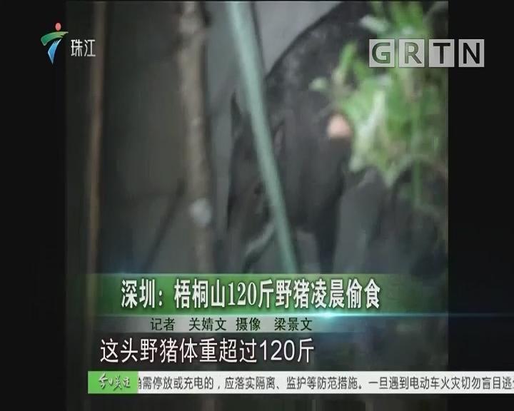 深圳:梧桐山120斤野猪凌晨偷食