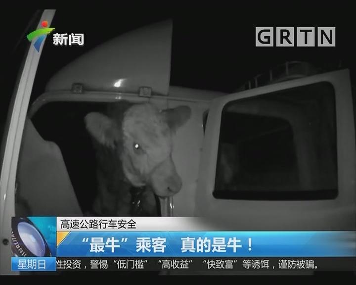 """高速公路行车安全:""""最牛""""乘客 真的是牛!"""