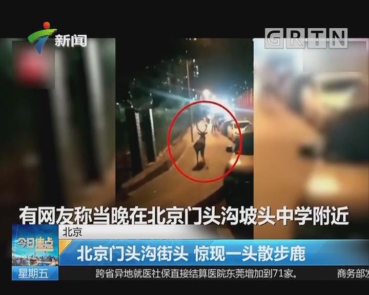 北京:北京门头沟街头 惊现一头散步鹿