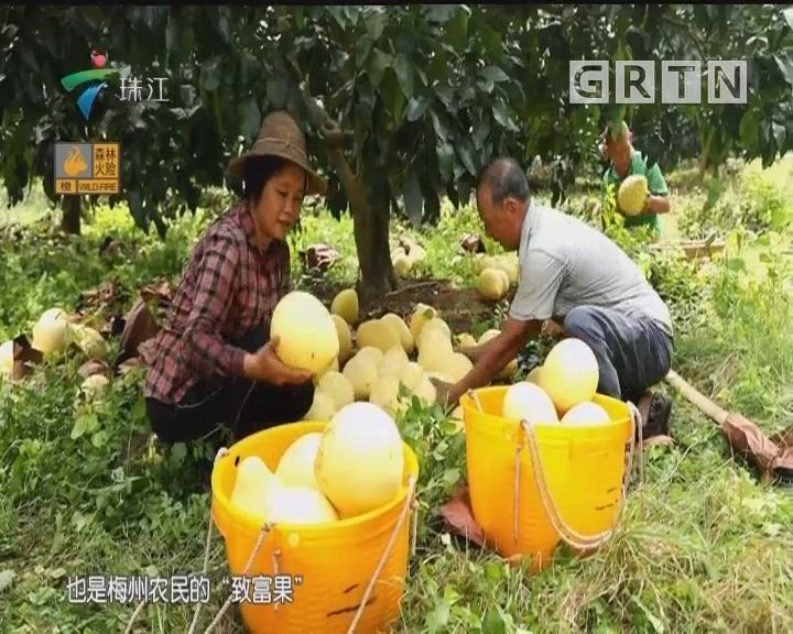 [2018-10-08]摇钱树:蜜柚金秋庆丰收