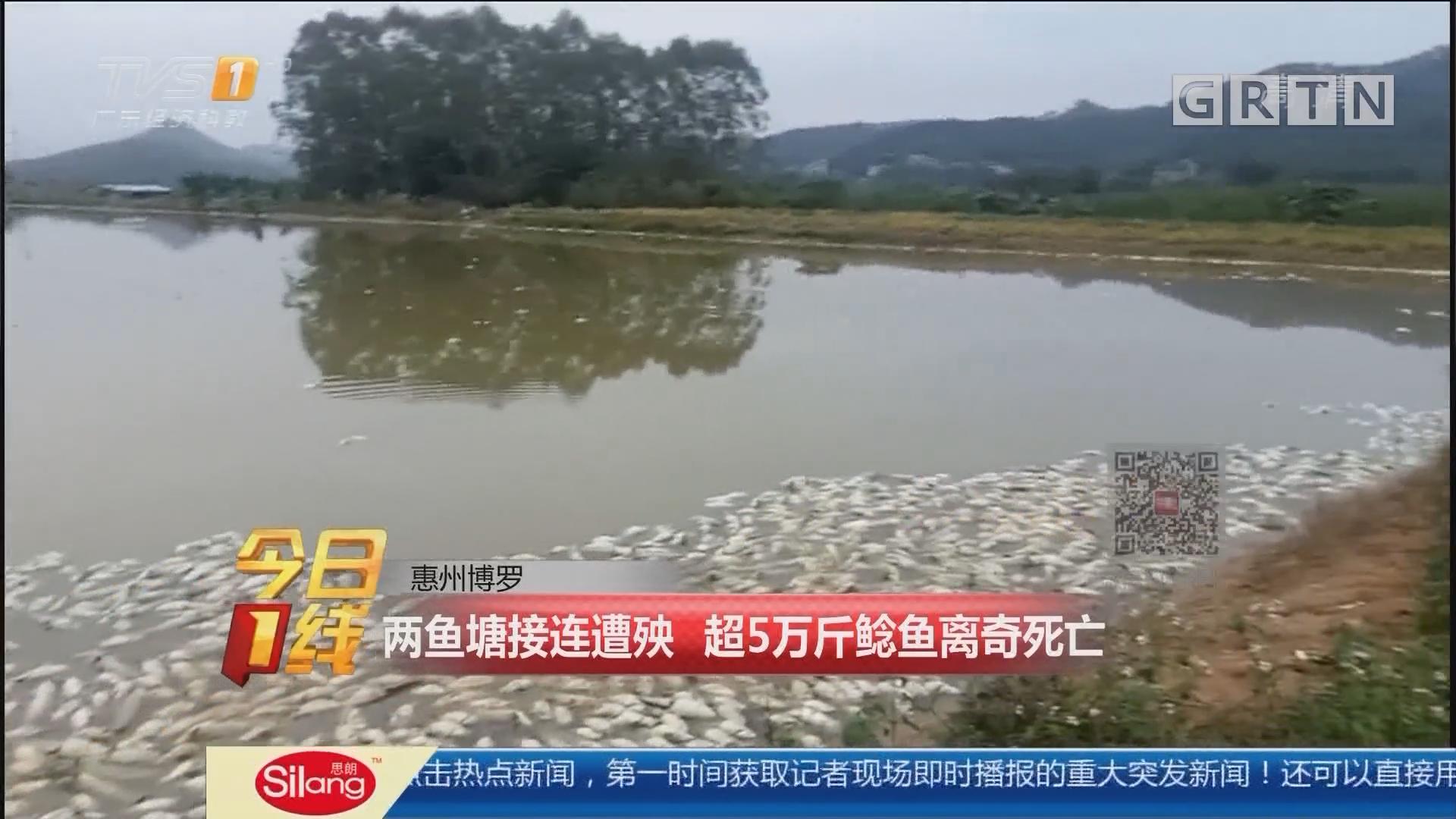 惠州博罗:两鱼塘接连遭殃 超5万斤鲶鱼离奇死亡