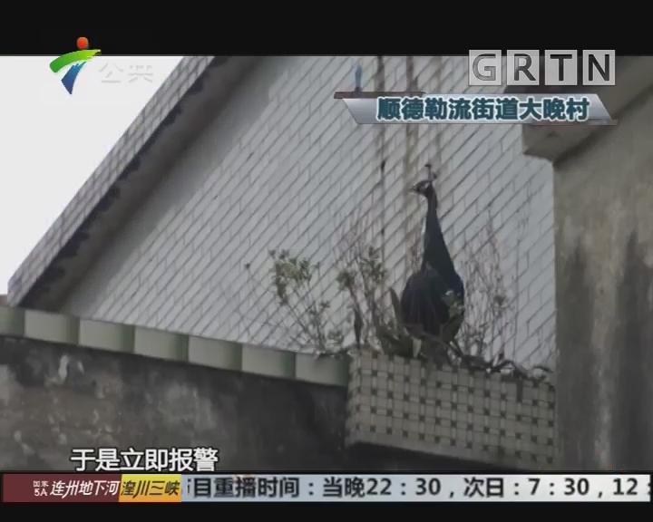 深夜怪声惊吓村民 竟是屋顶飞来孔雀