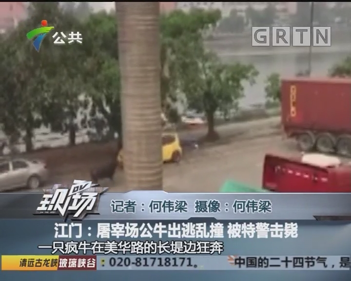 江门:屠宰场公牛出逃乱撞 被特警击毙