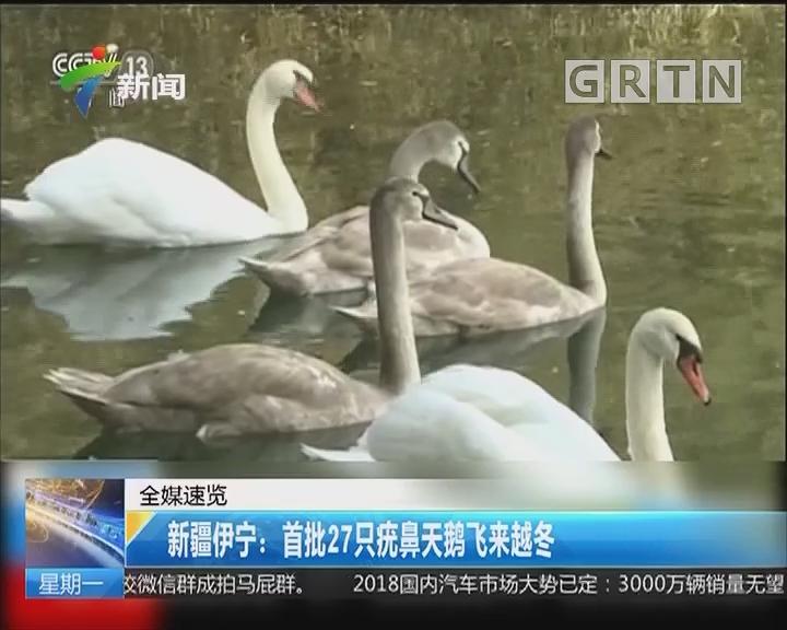 新疆伊宁:首批27只疣鼻天鹅飞来越冬