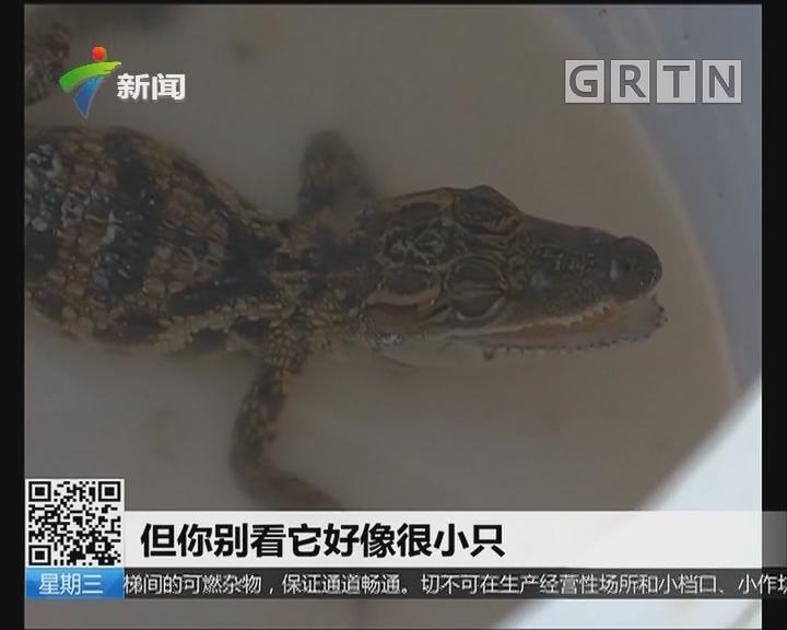 中山:街上捡到鳄鱼 胆大街坊还带回家养