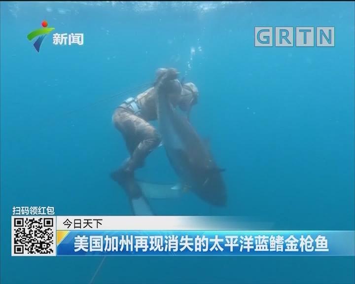 美国加州再现消失的太平洋蓝鳍金枪鱼