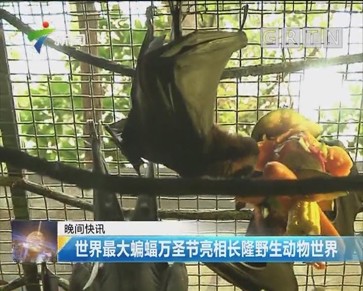 世界最大蝙蝠万圣节亮相长隆野生动物世界