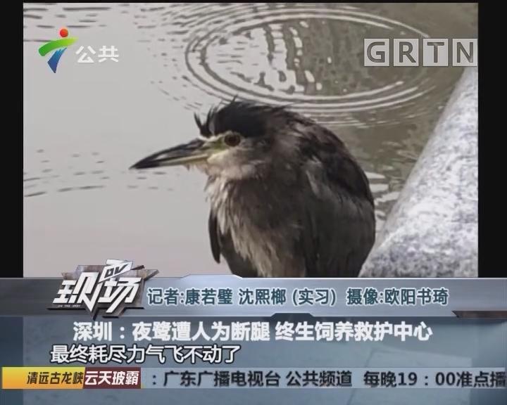 深圳:夜鹭遭人为断腿 终生饲养救护中心
