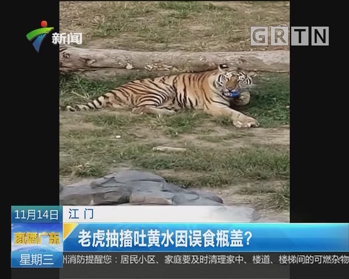 江门:老虎抽搐吐黄水因误食瓶盖?