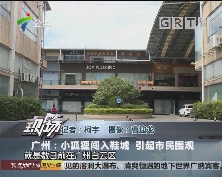 广州:小狐狸闯入鞋城 引起市民围观