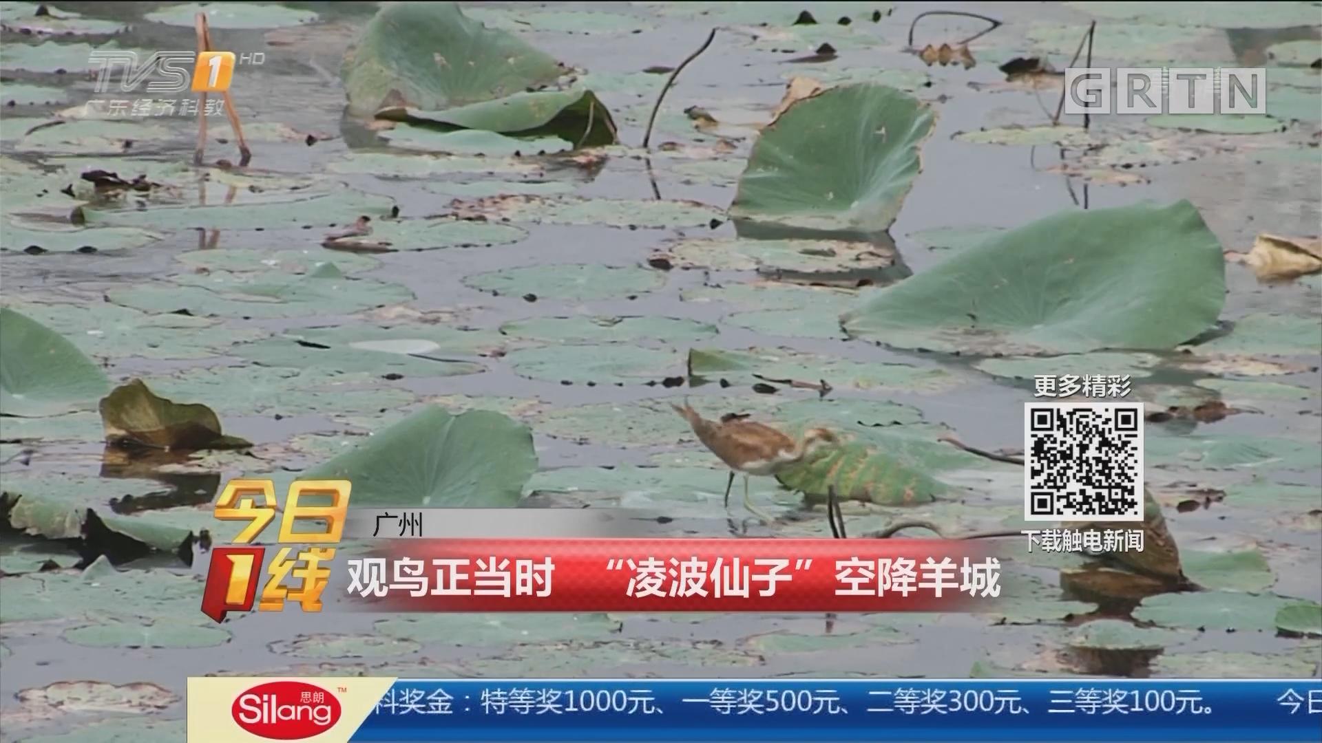 """广州:观鸟正当时 """"凌波仙子""""空降羊城"""