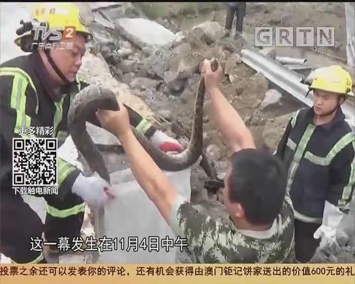 顺德:工地惊现大蟒蛇 2米长14斤重!