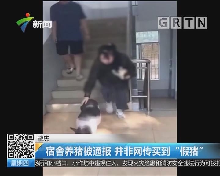 """肇庆:宿舍养猪被通报 并非网传买到""""假猪"""""""