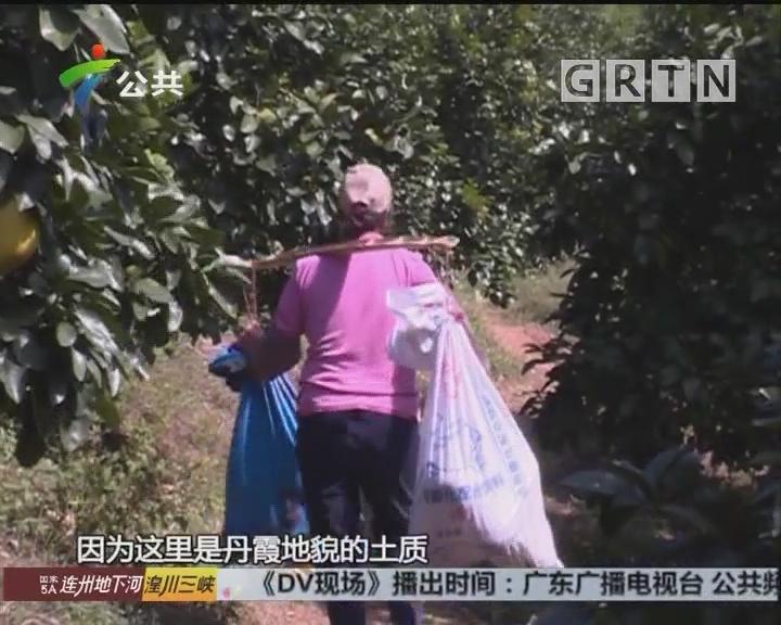 长坝沙田柚 十八年坚持有机种植