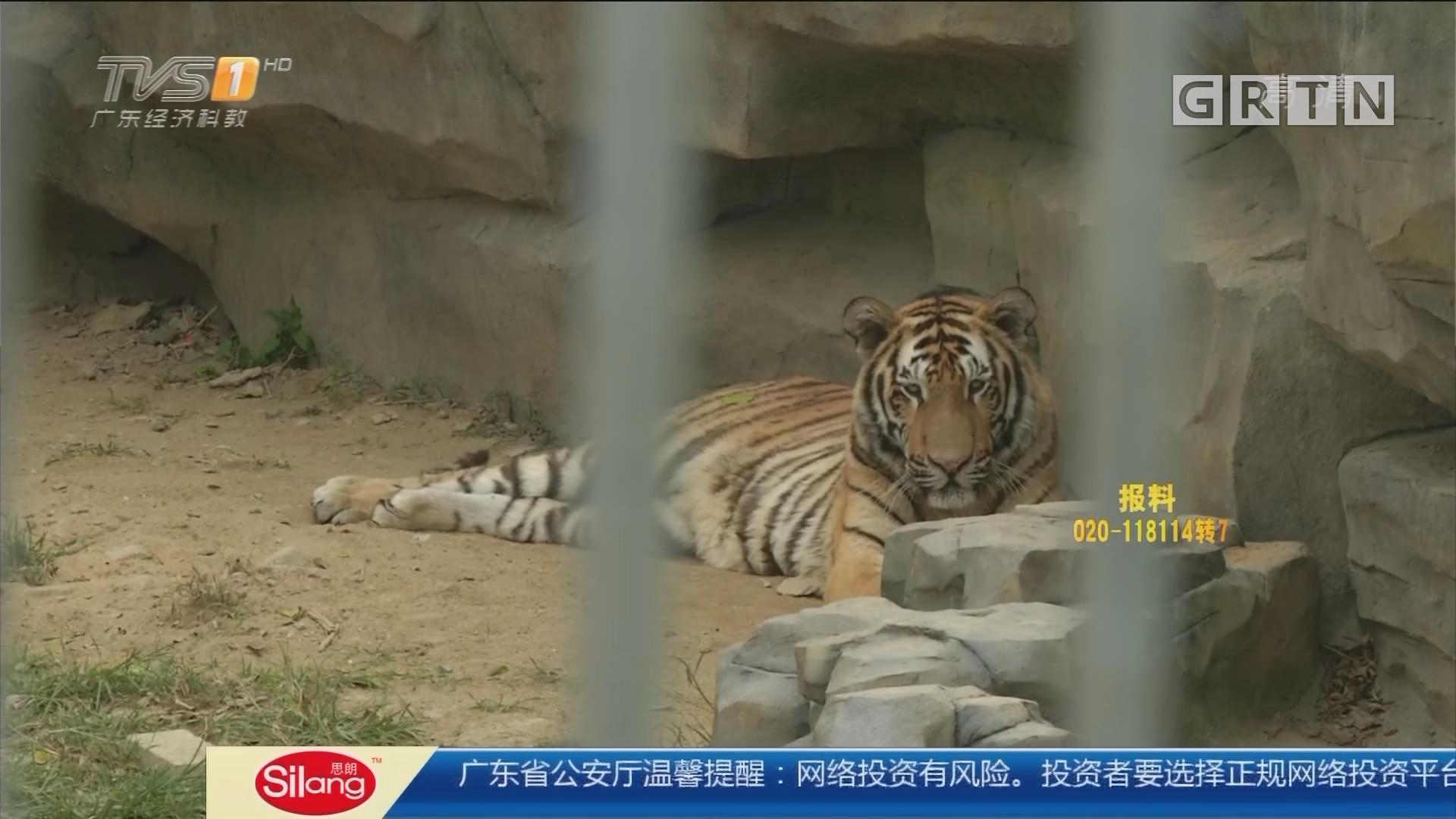 江门:老虎误吞塑料瓶致呕吐? 园区回应