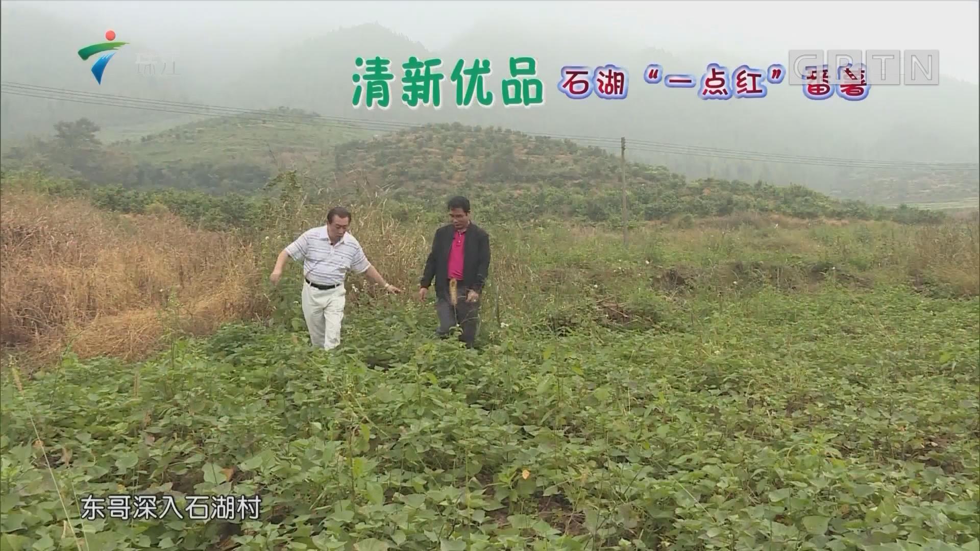[2018-11-26]摇钱树:清新优品 石湖一点红 番薯
