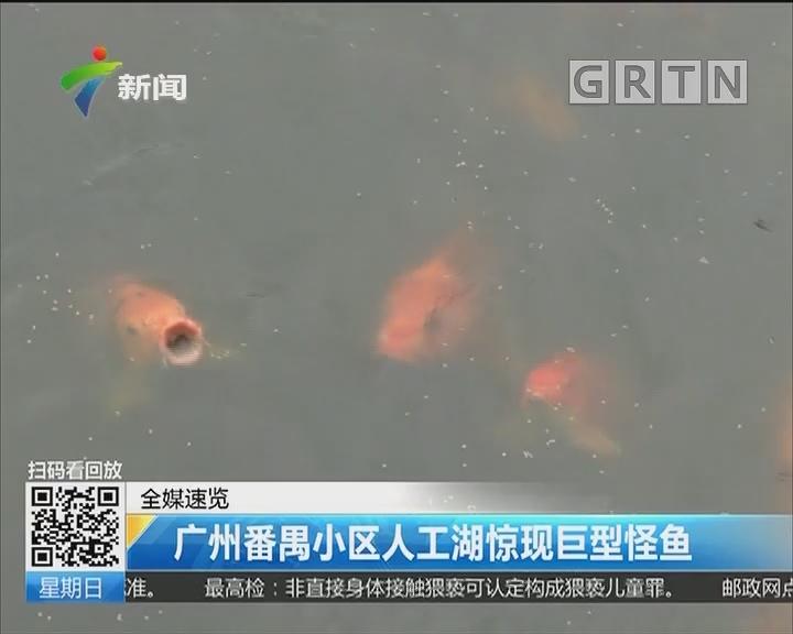 广州番禺小区人工湖惊现巨型怪鱼