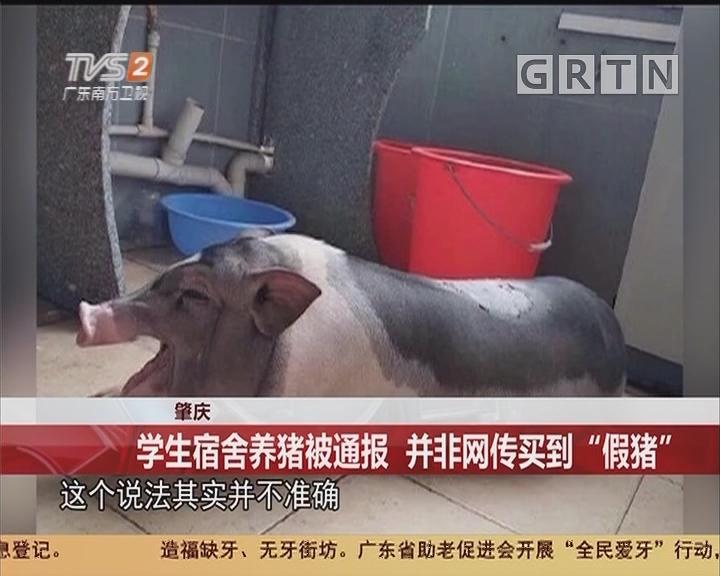 """肇庆:学生宿舍养猪被通报 并非网传买到""""假猪"""""""