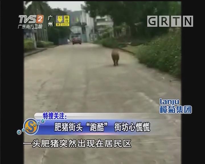 """肥豬街頭""""跑酷"""" 街坊心慌慌"""