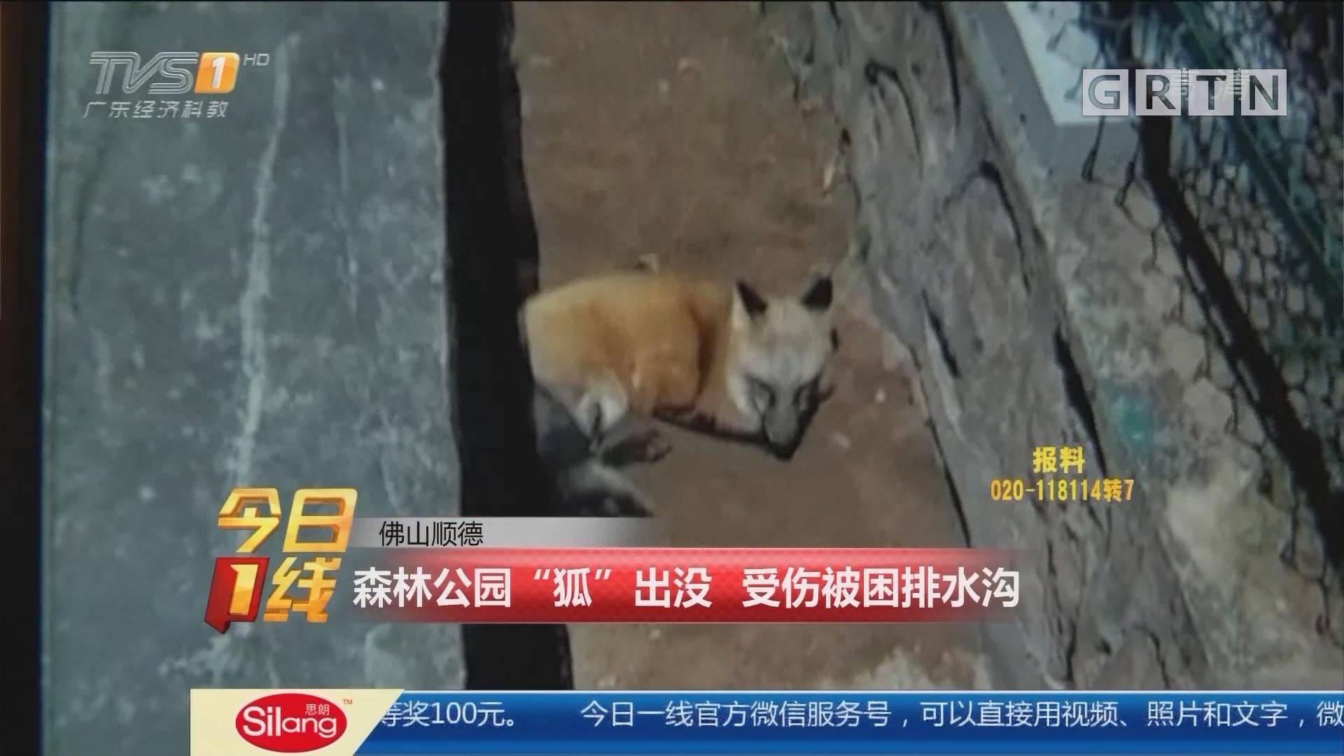 """佛山顺德:森林公园""""狐""""出没 受伤被困排水沟"""
