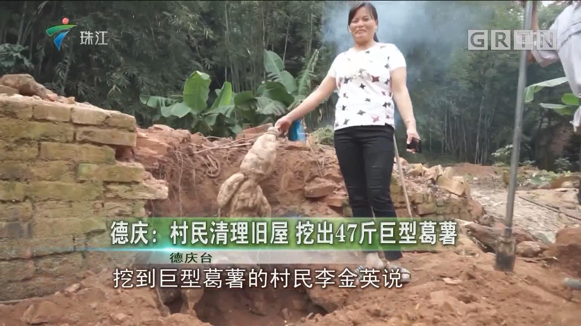 德庆:村民清理旧屋 挖出17斤巨型葛薯