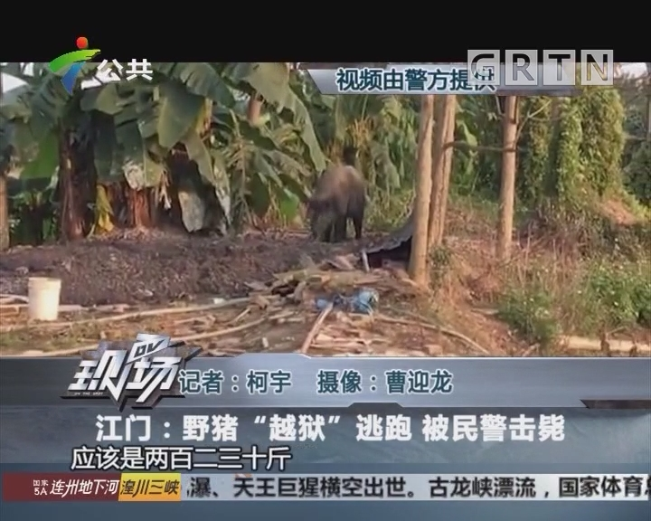 """江门:野猪""""越狱""""逃跑 被民警击毙"""