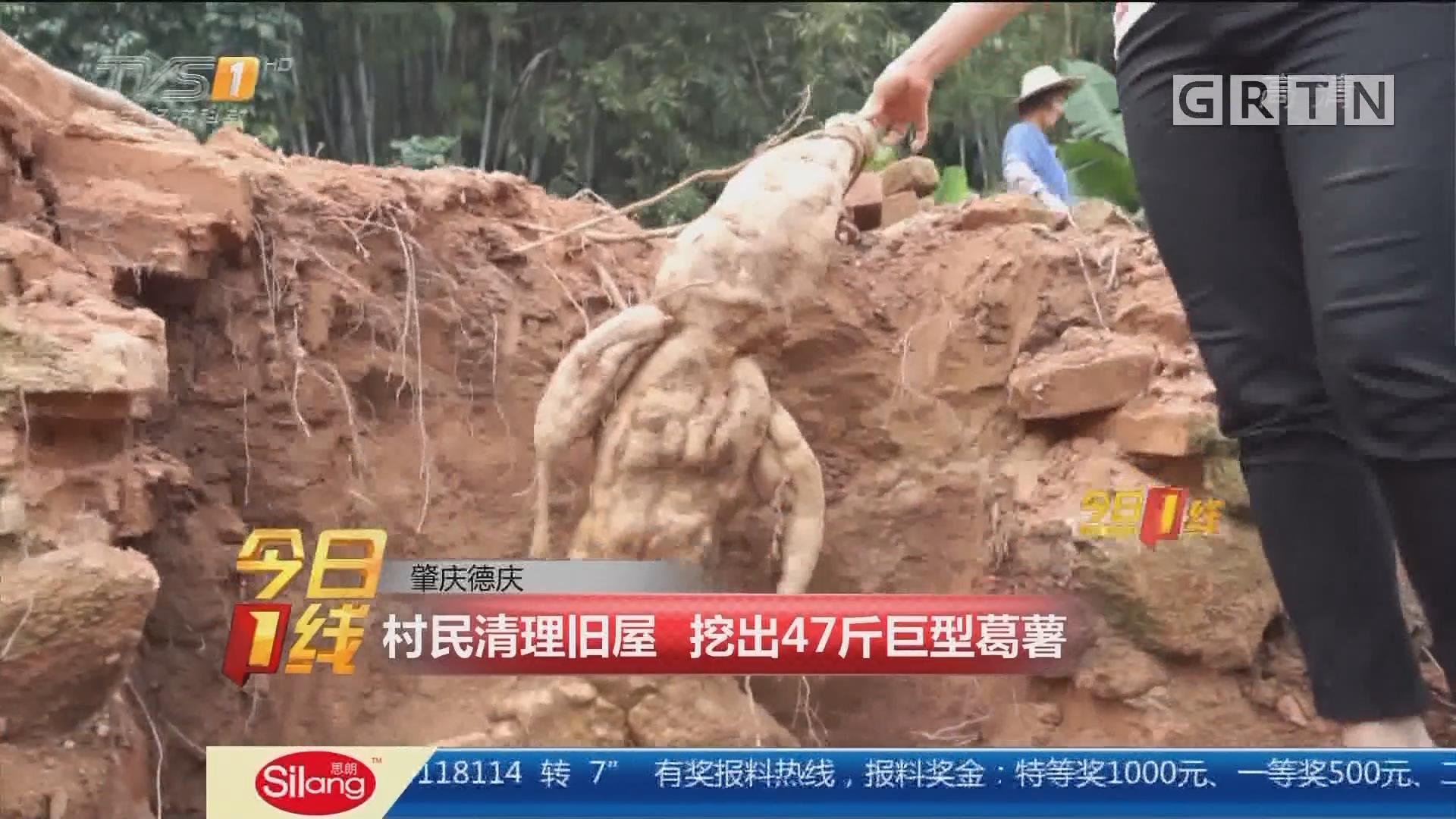 肇庆德庆:村民清理旧屋 挖出47斤巨型葛薯