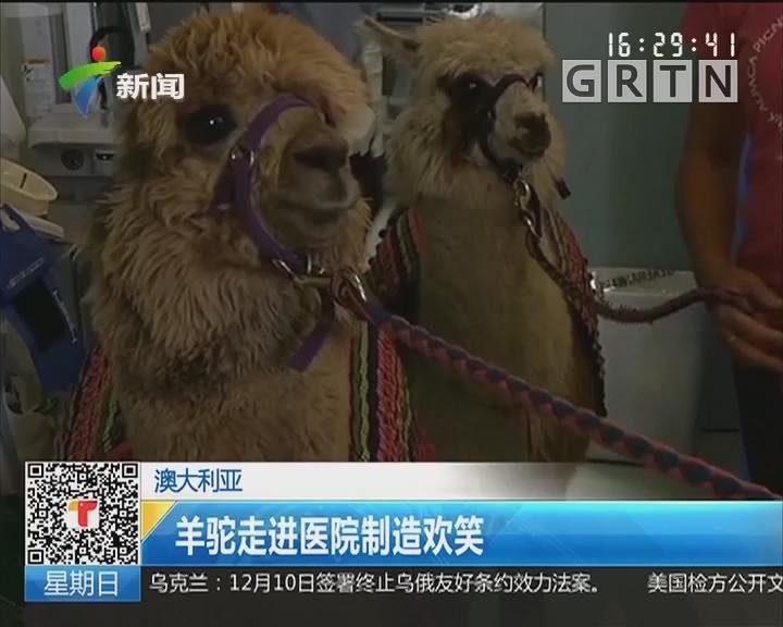 澳大利亚:羊驼走进医院制造欢笑