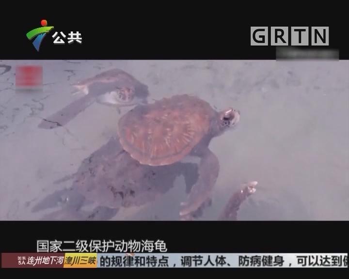 1995年 全国唯一的国家级海龟自然保护区