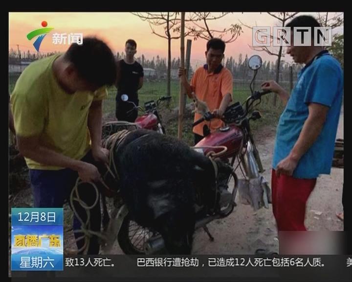 江门江海:野猪翻围栏出逃 被特警击毙