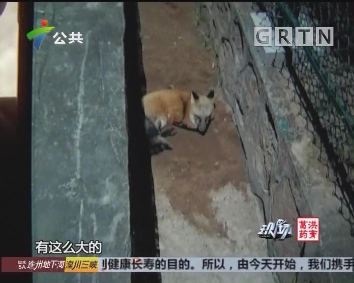 顺德:村屋边惊现野生狐狸 脚部疑遭夹伤