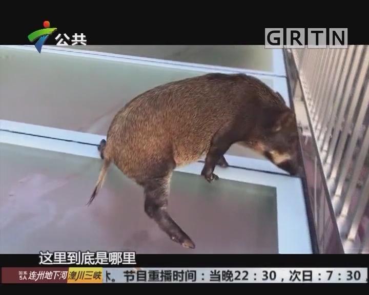 """清远:小野猪误闯玻璃桥 """"畏高""""连劈""""一字马"""""""