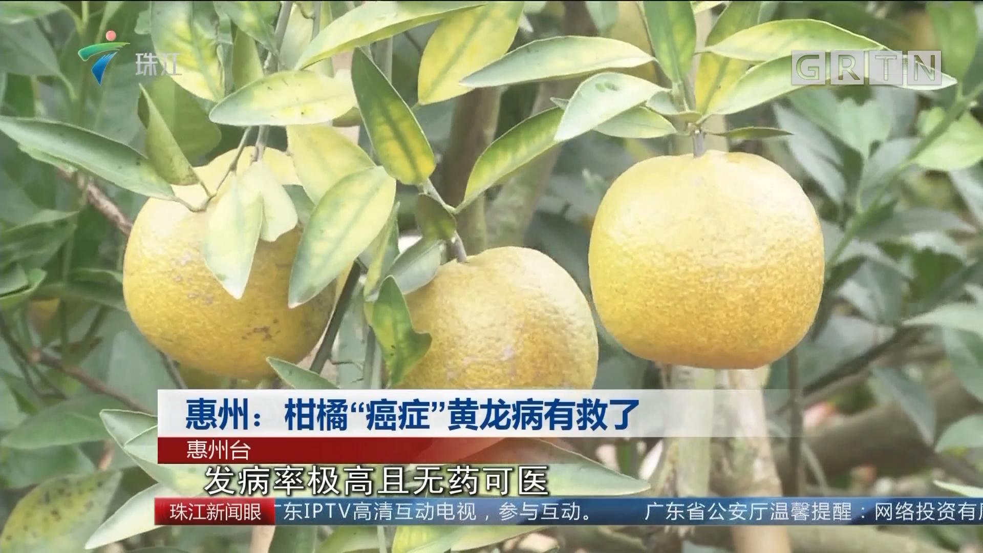 """惠州:柑橘""""癌症""""黄龙病有救了"""