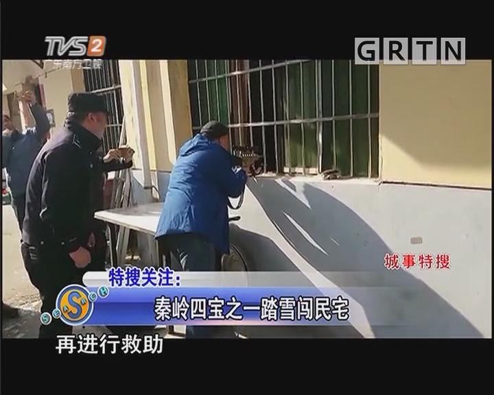 秦岭四宝之一踏雪闯民宅