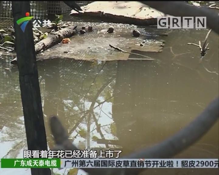花农求助:河涌遭偷排污染 年花上市无望