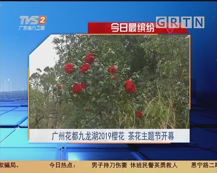 今日最缤纷:广州花都九龙湖2019樱花 茶花主题节开幕