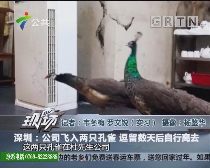 深圳:公司飞入两只孔雀 逗留数天后自行离去