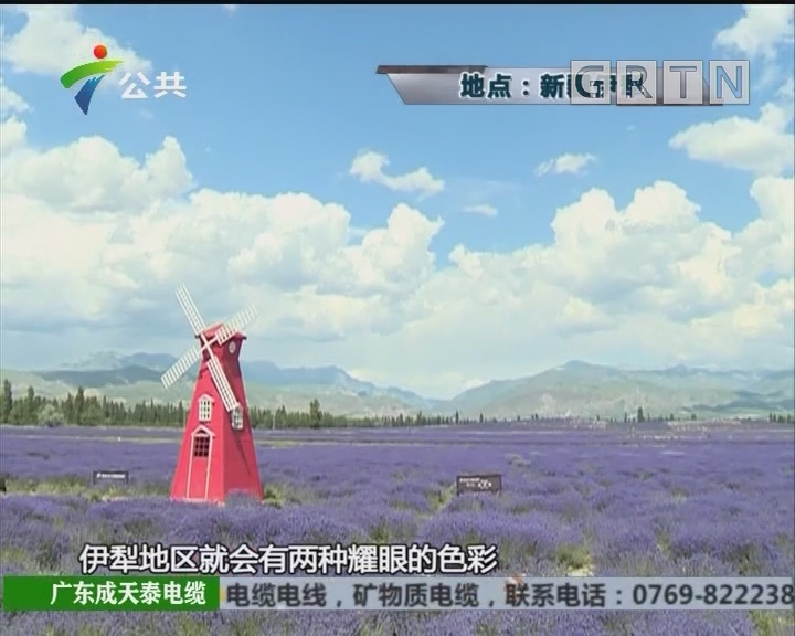 紫色薰衣草花海 中国的普罗旺斯