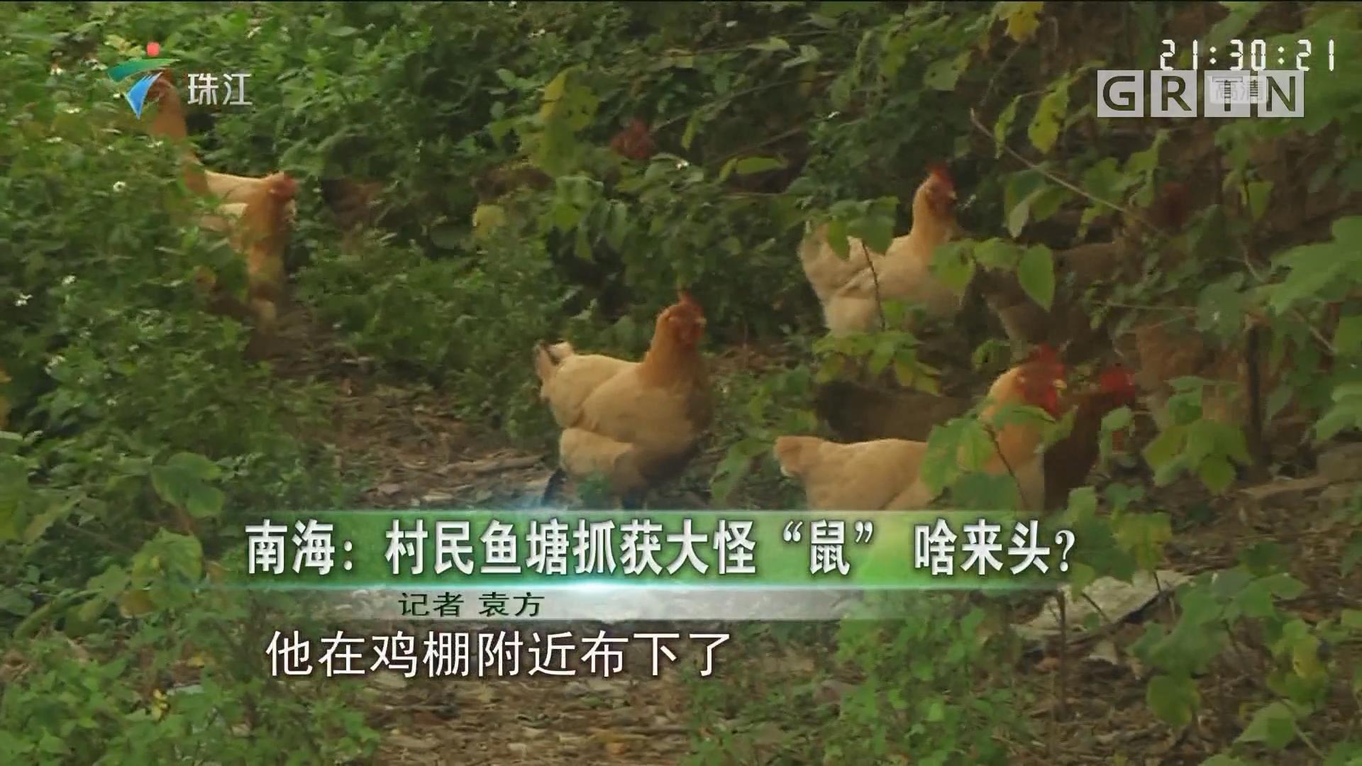 """南海:村民鱼塘抓获大怪""""鼠"""" 啥来头?"""